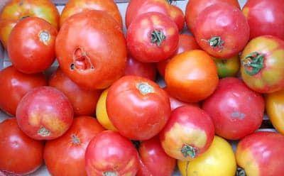 Урожай домашних помидоров