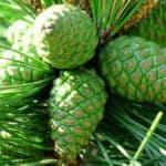 Варенье из сосновых шишек