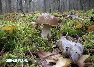 Белый гриб - красавец